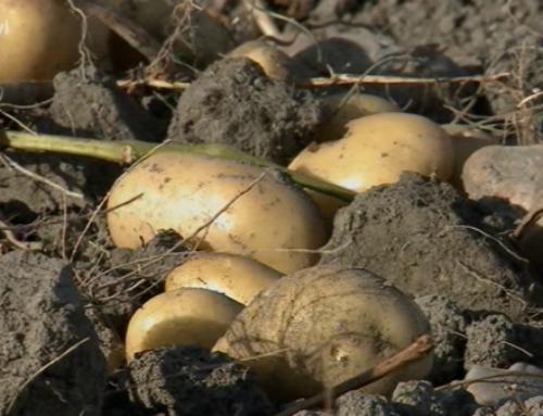 Gozai: La herramienta definitiva para el desecado de la patata